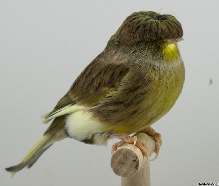 Bird with a Beatles haircut