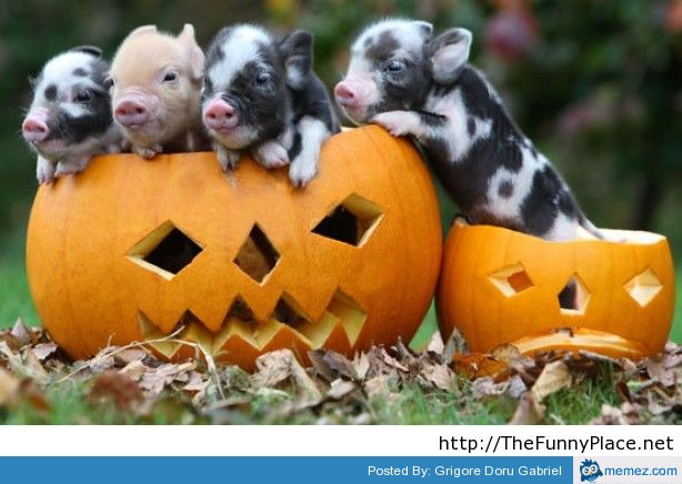 Cute funny Halloween pigs picture | memes.com