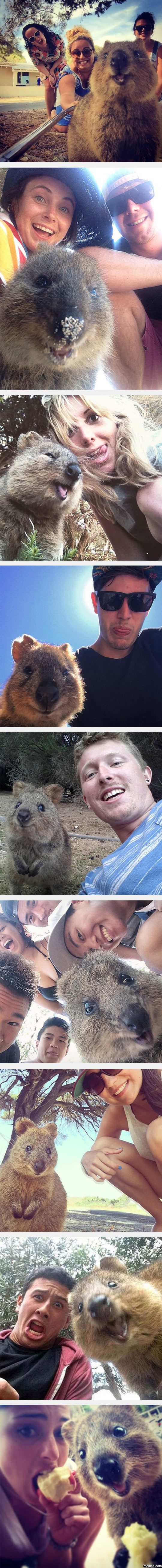 Wonderful Quokka Selfies