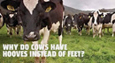 Why do cows have hooves instead of feet