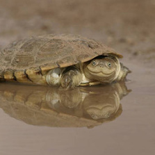 African Helmeted Turtle's Face