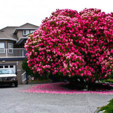 125-Year-Old Rhododendron Tree