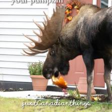 A moose eating your pumpkin...