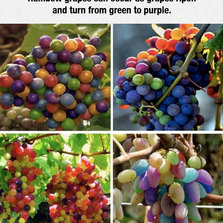 rainbow-grapes-branch-colors