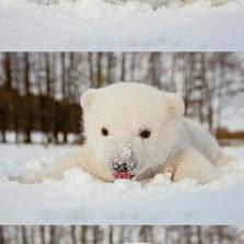 Baby polar bear enjoying snow for the first time
