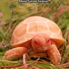 Albine Sulcata Tortoise