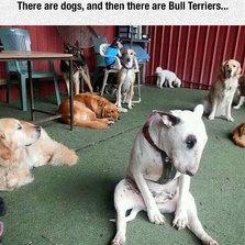 Bull Terriers....
